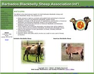 barbados blackbelly sheep