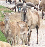 Frequently Asked Questions about Barbados Blackbelly Sheep